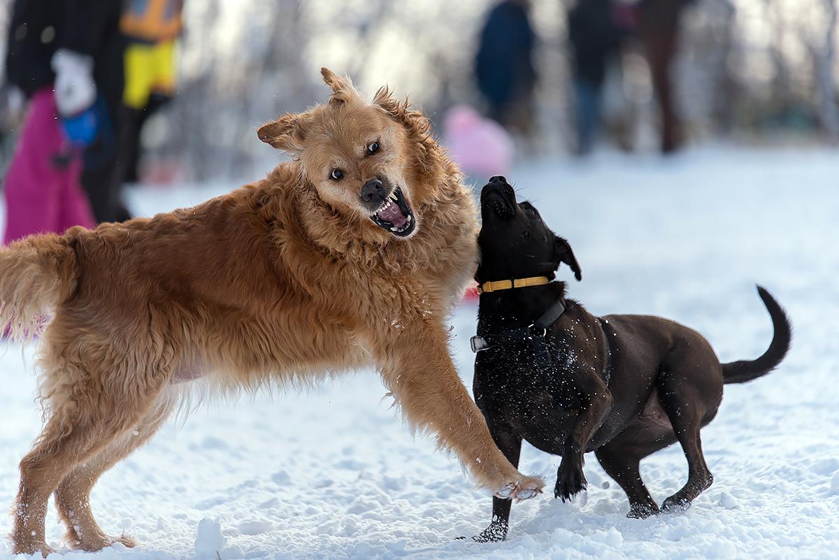 Ezt a kutyat nem lehet ketrecbe zarni 67 - Sz K Tt Kuty K T Ptek Sz T Egy F Rfit