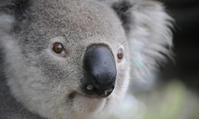 Koalák ritkításába kezdett egy ausztrál állam