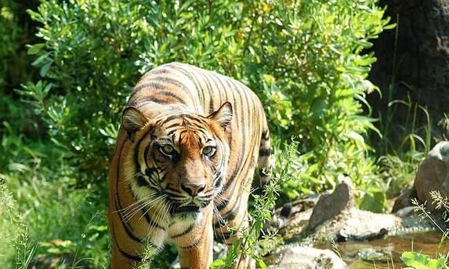 Helikopterrel keresték a tigriseket a faluban