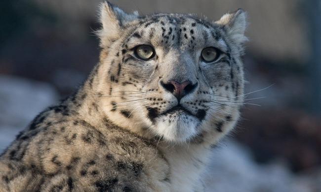 Beszorult egy leopárd feje fél napra egy vizesedénybe