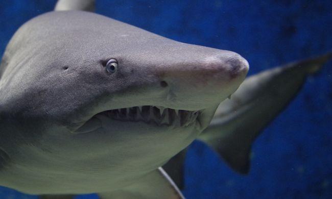Soha nem voltak annyira agresszívak a cápák, mint tavaly