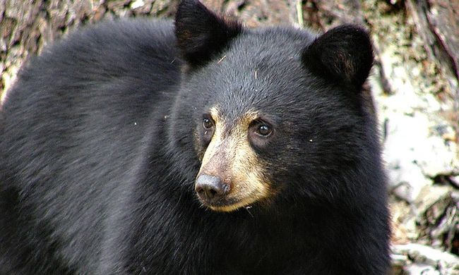 Lelőtték a medvét, mert bement egy iskolába - videó