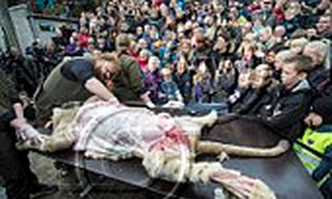 Gyerekek előtt boncoltak oroszlánt egy dán állatkertben