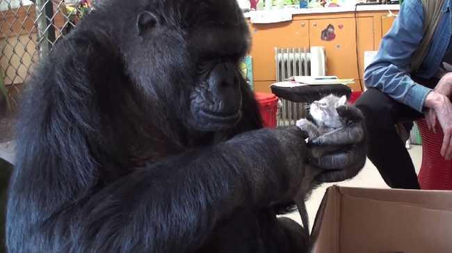 Mély szomorúsággal közölték: elment Koko