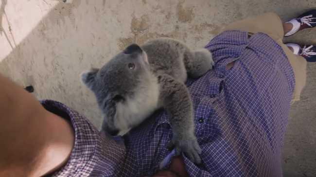 Megölelte a koalakölyök az operatőrt - videó