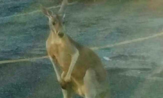 Elszabadult kenguru New York-ban - videóval