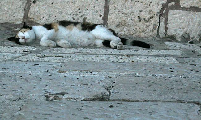 Kitelepíthetik a kóbor macskákat Izraelből