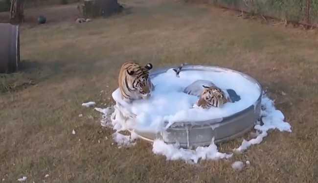 Így élvezik a habfürdőt a tigrisek