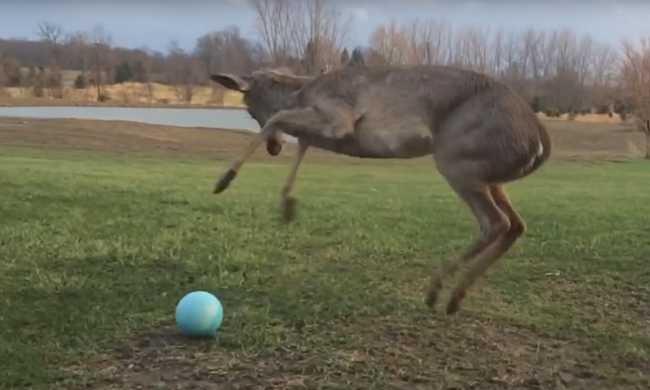Mit kezd egy őz egy kék labdával? - videó