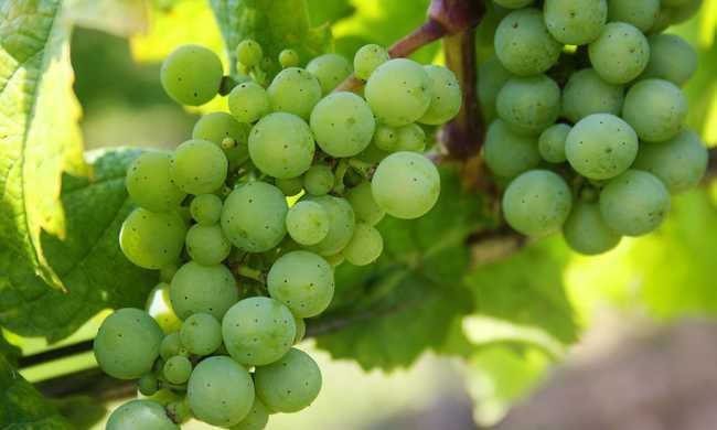 Jó ár a jó tokaji szőlőért
