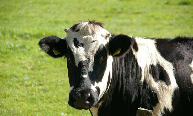 Pónifogatot akart, ezért lopott egy tehenet