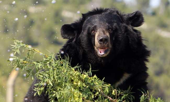 320 medvét ölnek meg Floridában