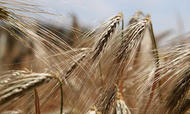 Megkezdődött az aratás Békés megyében