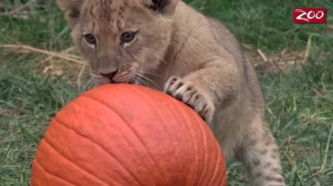 Az oroszlánkölykök is készülnek a Halloweenre - videó