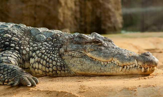 Betörőnek hitte, de egy aligátor akart bejutni a lakásába