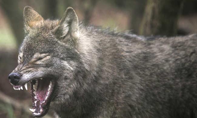 Megszaporodtak a farkasok, kilőnék őket