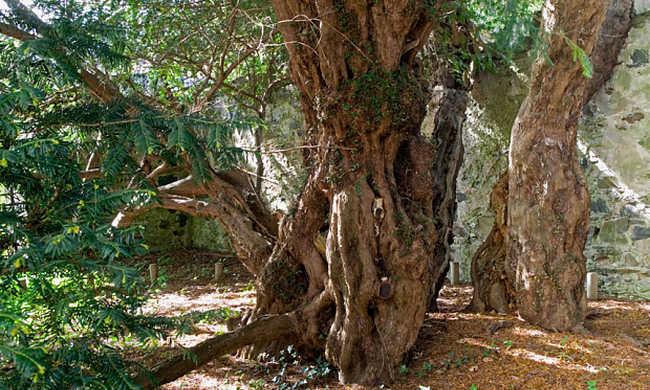 Nemet váltott Európa legöregebb fája