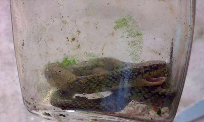 Másféléves gyerek harapta halálra a mérges kígyót
