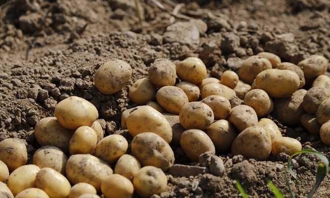 Veszélyes betegség támadta meg a magyar krumplikat