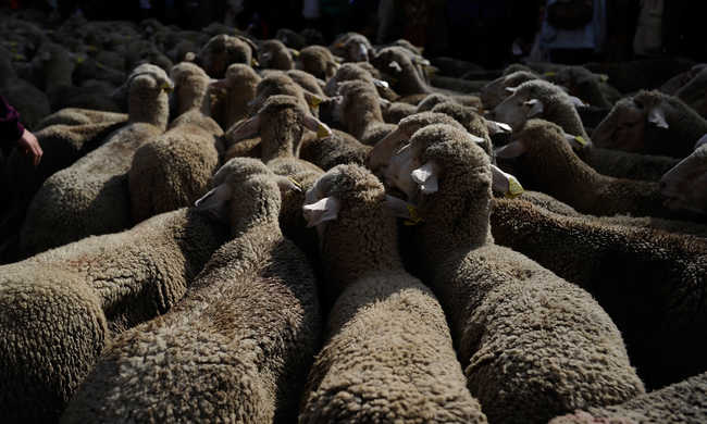 Kegyetlen állatkínzás: 72 bárányt tuszkoltak be a furgon hátuljába