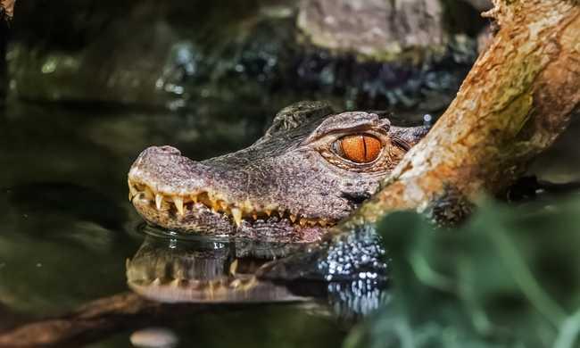 Szöknek a krokodilok egy bezárt farmról
