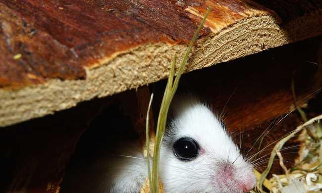 Drogfutárnak képezték ki az egeret a rabok