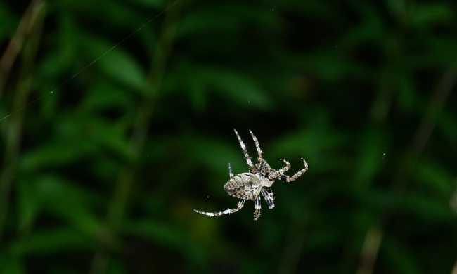 Csonkítással érik el a hűséget a pókok