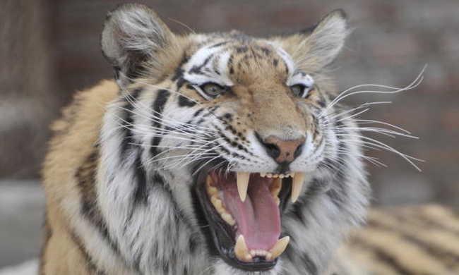 Étteremből szökött meg egy tigris