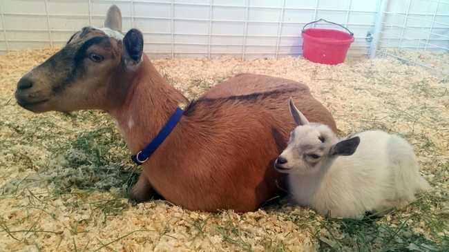 Az ellopott kecske visszakerült anyjához