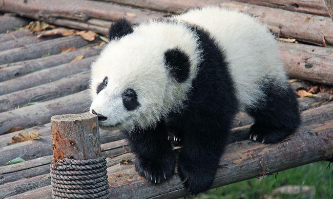 Ez a pandakölyök képes naphosszat bukfencezni - videó