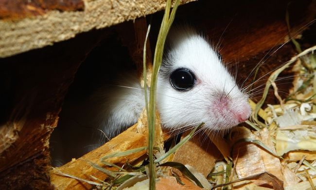 Az egerek jelenthetik a megoldást a vérátömlesztésre
