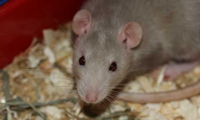 Saját patkányai fertőzték meg a tinédzsert, kórházba kellett vinni