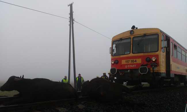 Bivalyokat gázolt a vonat - fotók