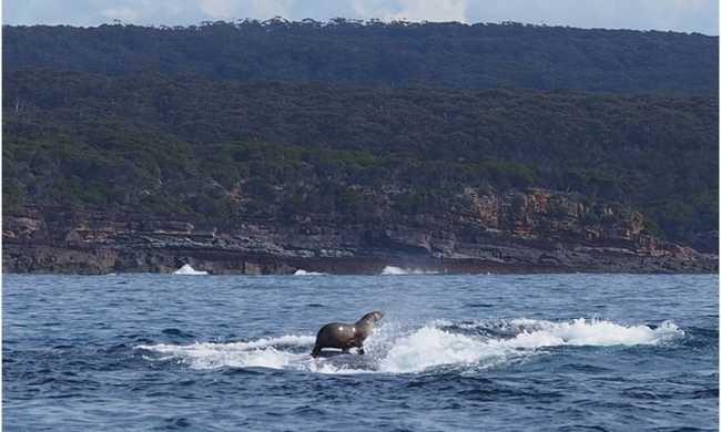 Bálnaháton szörfözik a fóka - videó