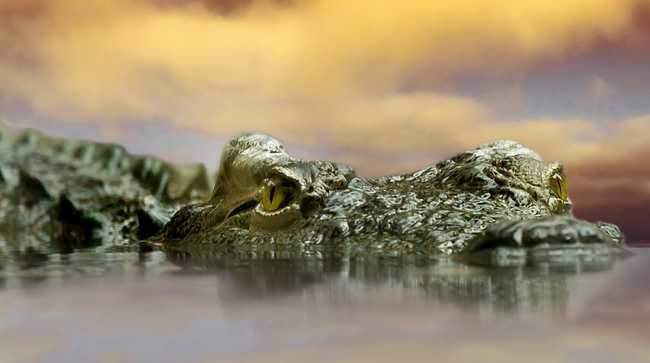 A hotel medencéjében támadt az úszókra a krokodil - videó
