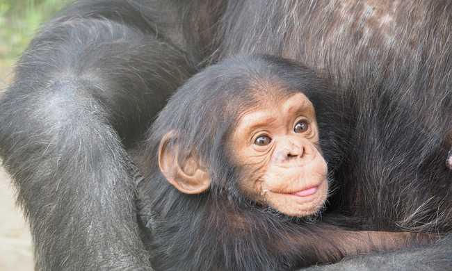 Az anyjuktól korán elválasztott csimpánzok elszigetelődnek