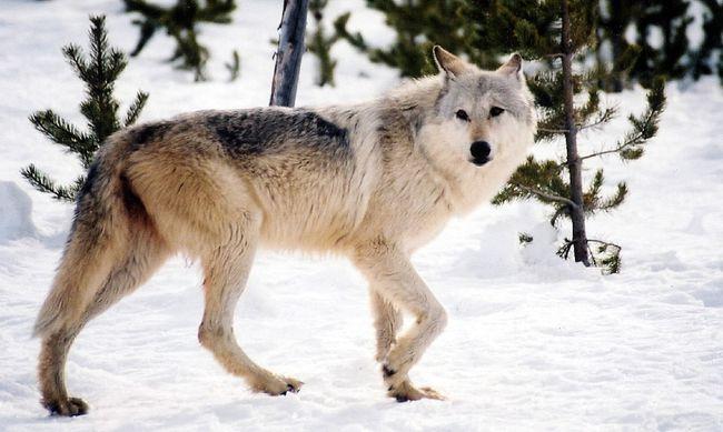 Kevesebb farkast lőhetnek ki idén