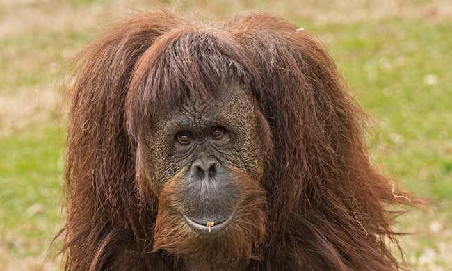 Gyász az állatkertben: elaltatták a világ legidősebb orangutánját