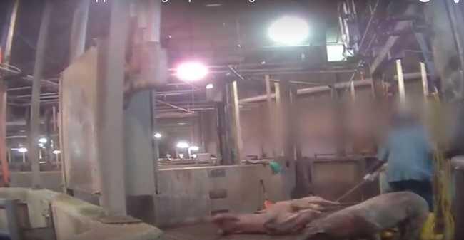 Kínzás a vágóhídon: örültek az állatok szenvedésének - videó!
