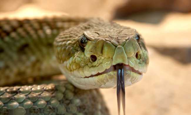 Saját kígyója ölte meg a fiút
