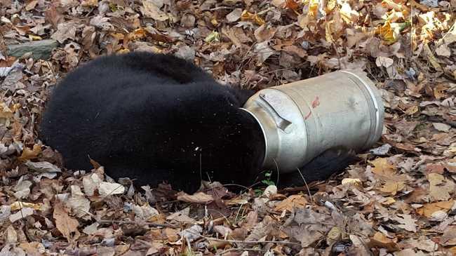 Tejeskannába szorult a medve feje