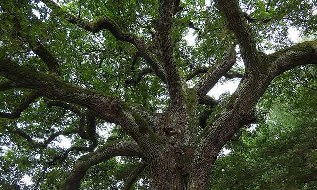 400 éves tölgy lett az év fája 2015-ben