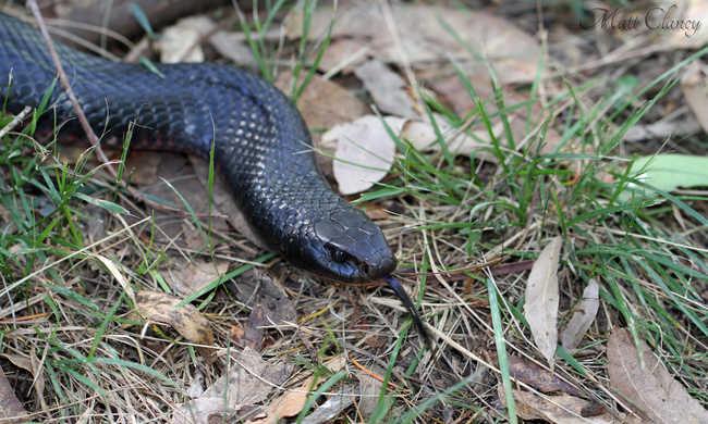Macska mentette meg a mérges kígyótól