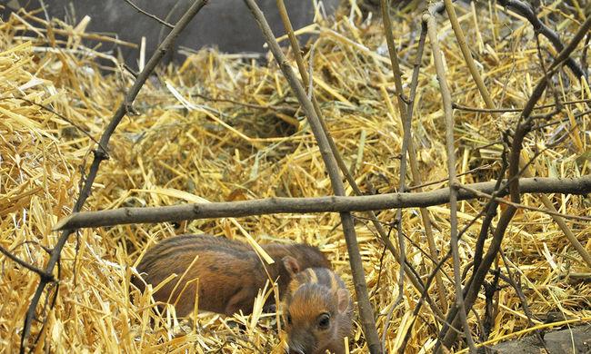 Először születtek Magyarországon cebui disznók - képgaléria