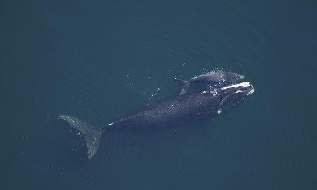 Megint ölik a bálnákat