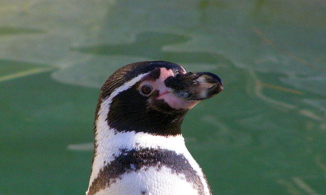 Rejtélyes módon tűntek el a pingvinek az állatkertből