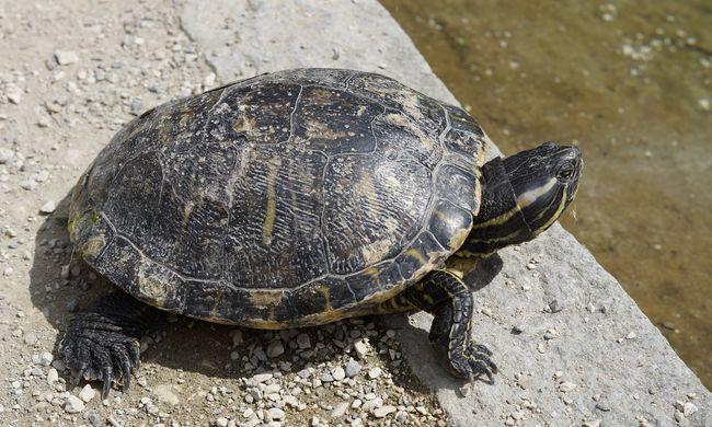 A sínek mentén építenek alagutat a teknősöknek