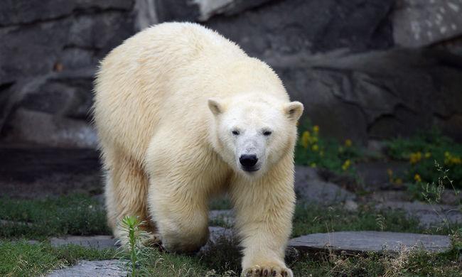 A jegesmedvék közé mászott egy férfi az állatkertben
