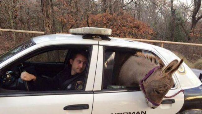 Rendőrautóban utazott a szamár
