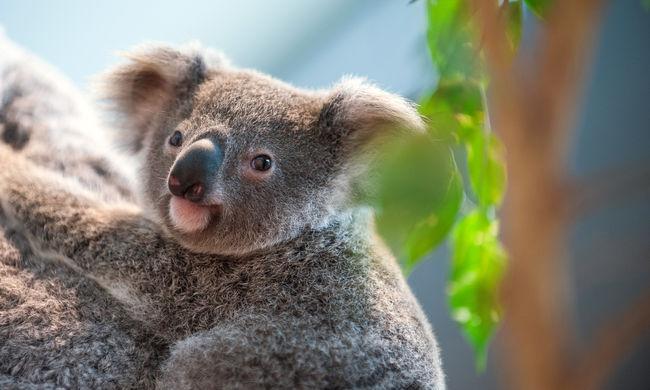 Fel akart mászni a lábakra a kíváncsi koala - videó